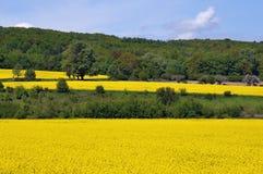 一个风景的透视与金黄油菜领域的在一个夏天早晨 库存图片