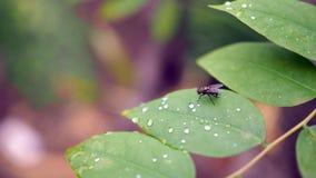 一个飞行双翅目的图象在绿色叶子的 昆虫 敌意 免版税库存照片
