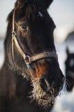 一个马冷淡的冬天的画象 库存图片