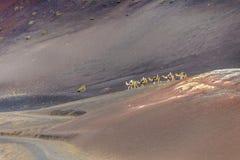 一个骆驼徒步旅行队的游人在Timanfaya国家公园 库存图片