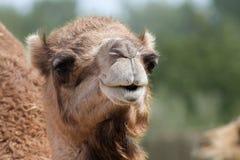 一个骆驼成人画象  免版税图库摄影
