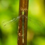 一个鲜绿色蜻蜓特写镜头宏指令 免版税库存照片