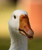 醒目的鹅头开放额嘴舌头特写镜头 免版税库存图片
