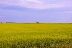一个黄绿色油菜籽领域的风景与一个红色小屋的 免版税库存照片