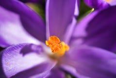 一个黄色中心由这朵花的紫色和白色瓣引起 免版税库存照片