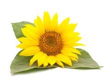 一个黄色向日葵 库存照片