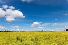 一个黄色强奸领域的风景与蓝天的 免版税库存图片