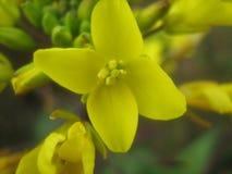 一个黄色花Choy总和在庭院里 免版税库存照片