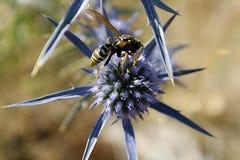一个黄蜂的宏指令在cardo ` s花的 免版税库存照片