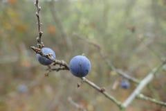 一个黑刺李莓果的细节在分支的 免版税库存图片