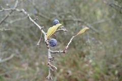 一个黑刺李莓果的细节在分支的 库存图片