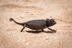 一个黑变色蜥蜴在纳米比亚沙漠 库存图片