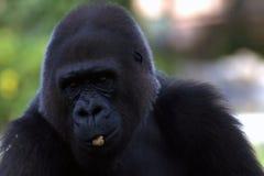 一个黑大猩猩的画象 库存照片