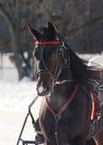 一个黑暗的海湾马小跑步马品种的画象在跑马场的 免版税库存照片