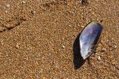 一个黑淡菜的壳在海滩沙子的 图库摄影