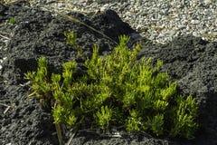 一个黑熔岩岩石的织地不很细五颜六色的绿色仙人掌植物在西西里岛关闭 库存图片