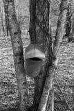 一个黑白图象的槭树树汁怎样收集 免版税库存照片