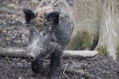 一个黑褐色野公猪的特写镜头 免版税库存图片