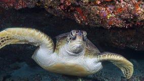 一个鼻子的照片与一只乌龟的在马尔代夫 库存图片