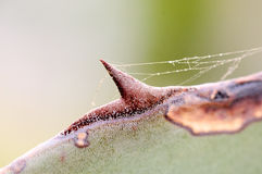 一个仙人掌的宏观射击与蜘蛛网的 免版税库存图片