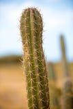 一个仙人掌的特写镜头视图在La瓜希拉省的 免版税库存照片