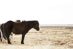 一个黑冰岛小马的画象 免版税库存图片