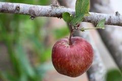 一个水多的红色苹果在分支垂悬 免版税库存照片