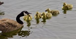 一个年轻家庭的美好的图片加拿大鹅游泳 免版税图库摄影
