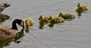一个年轻家庭的美好的被隔绝的图片加拿大鹅游泳 免版税库存图片