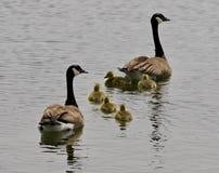 一个年轻家庭的美好的被隔绝的图片加拿大鹅游泳 库存照片