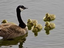 一个年轻家庭的美好的被隔绝的图片加拿大鹅游泳 库存图片