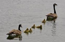 一个年轻家庭的美好的被隔绝的图象加拿大鹅游泳 免版税库存图片