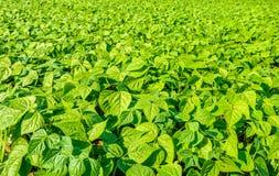 一个晴朗的领域的青豆植物 免版税图库摄影