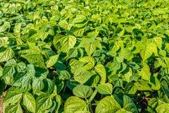 一个晴朗的领域的年轻青豆植物 库存照片