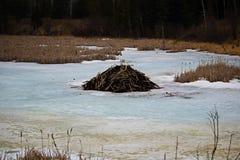一个冻池塘的海狸小屋 库存照片