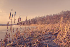 一个冻湖的里德 免版税图库摄影