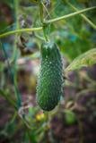 一个黄瓜 免版税图库摄影