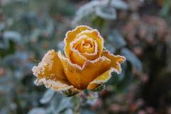 一个冻结的冬天上升了 库存照片