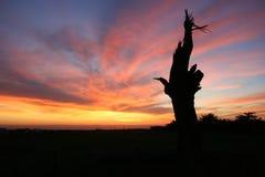 一个死的柏树的剪影反对日落天空的 库存图片
