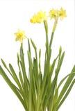 一个黄水仙的花在罐的 免版税库存图片