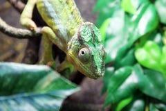 一个绿色变色蜥蜴特写镜头的画象 免版税图库摄影