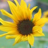一个黄色向日葵在充分的阳光下 免版税库存图片