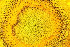 一个黄色向日葵的核心,宏指令 免版税库存照片