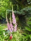 一个紫色毛地黄属植物 免版税库存照片