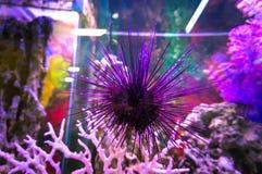 一个紫色海胆的美丽的照片珊瑚礁的在里斯本Oceanarium,葡萄牙 免版税库存照片