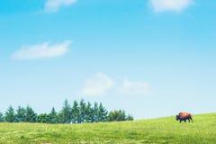 一个绿色草甸的水牛城 库存图片