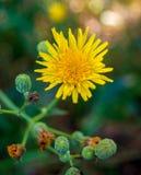 一个黄色蒲公英的照片在自然本底的 库存照片