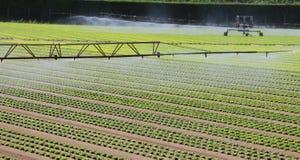 一个莴苣领域的灌溉系统在夏天 库存图片
