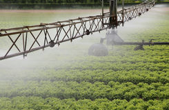 一个莴苣领域的灌溉系统在夏天 免版税库存图片