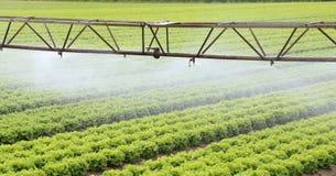 一个莴苣领域的灌溉系统在夏天 库存照片